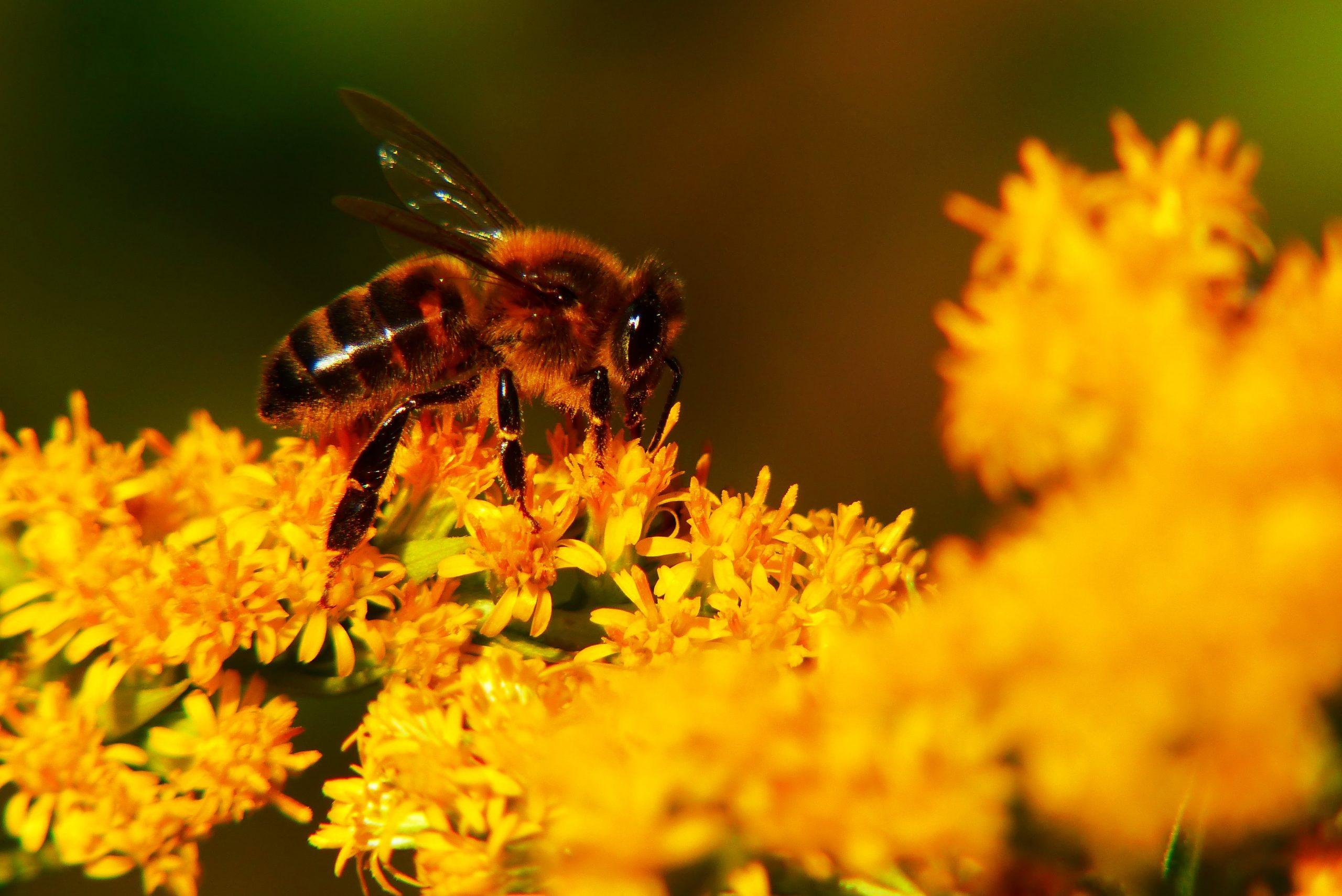 Com les abelles